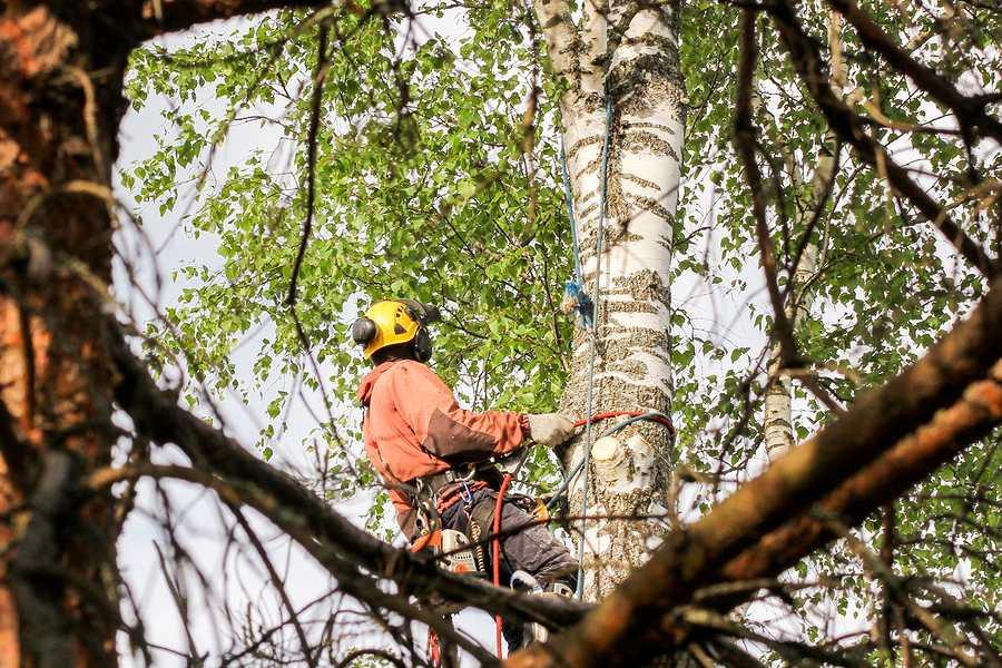 arborist in Sydney